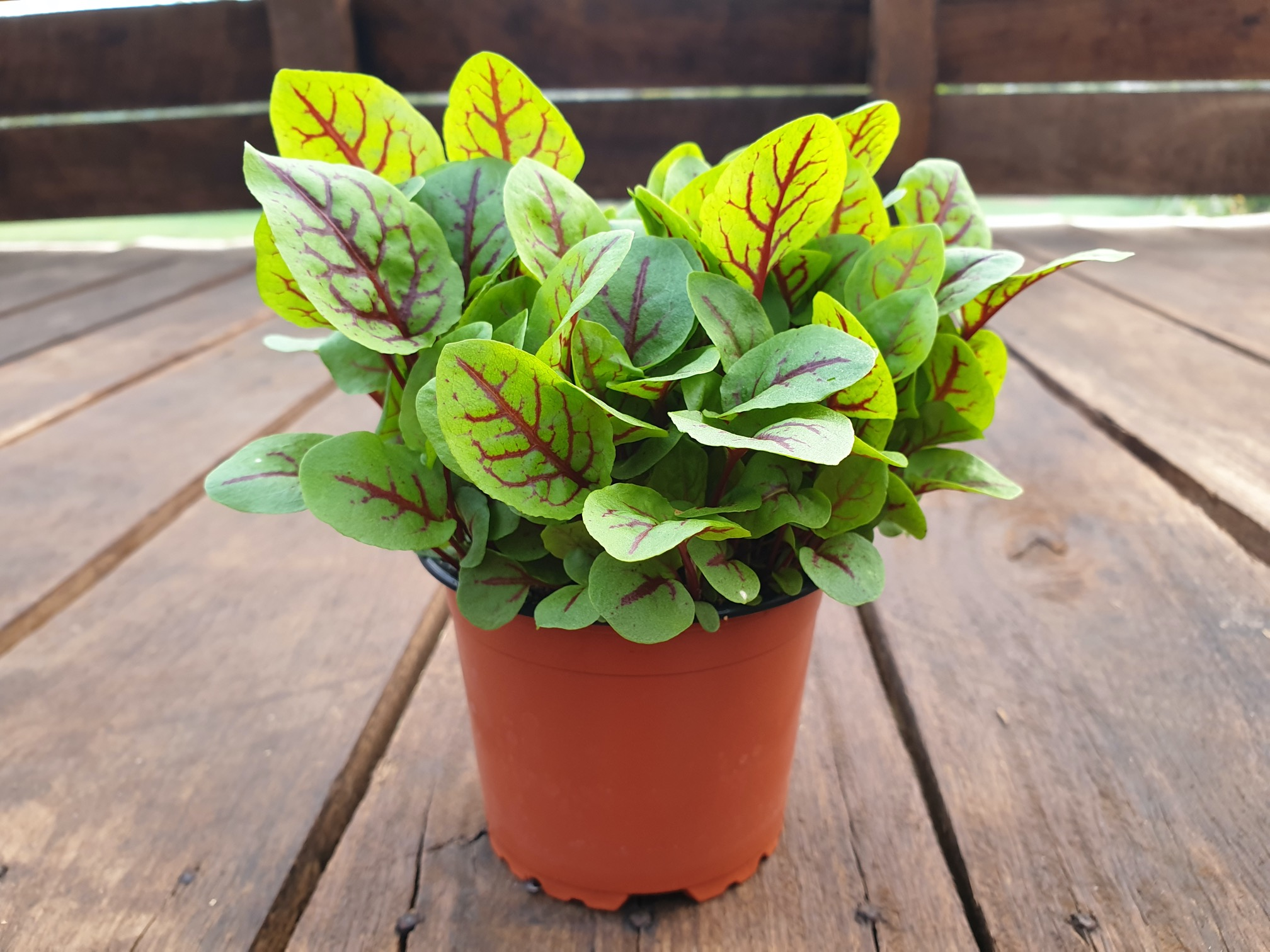 Red Vein Sorrel